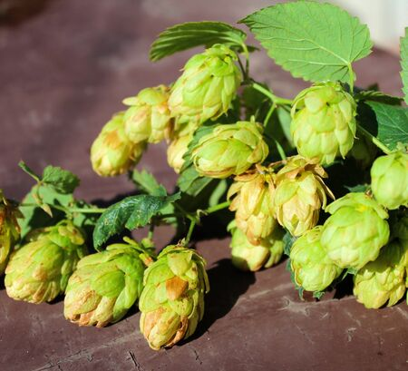 Hop. Green hop cones on a brown background Stock Photo