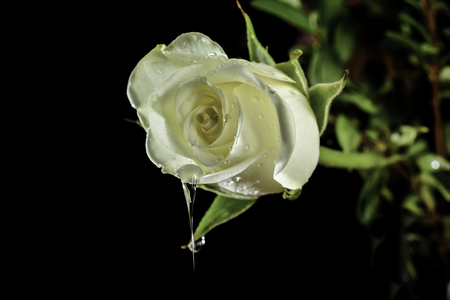 White rose with large water droplet isolated on black background