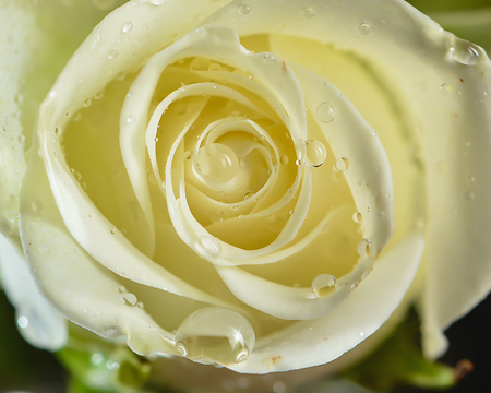 photographies: Fully opened white rose with large water droplets