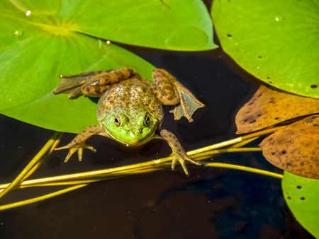 Northern Leopard Frog  on lily pad in alert mode, Ontario Canada