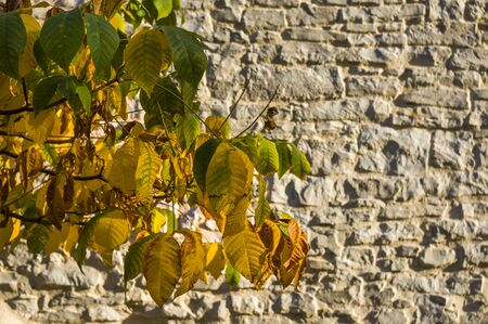 Autumn leaves with autumn colors in front of historic city wall of sandstone