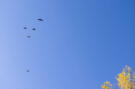 Cormorants in flight and birch with yellow autumn colors in front of blue sky Stock Photo