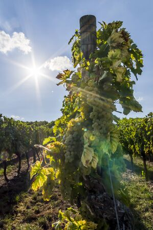 Grape vine with bright grapes and berries in backlight with sun star, blue sky and small clouds