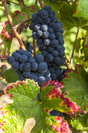 Grapevine with big red grapes and berries and colorful vine leaves in closeup