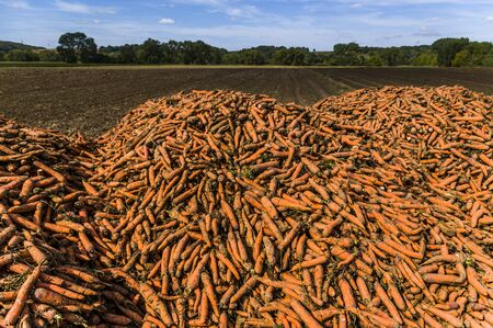 A field with a mountain or pile of harvested carrots, in the background wooded landscape