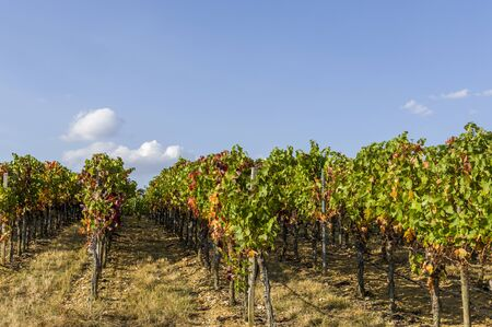 Grape vines and grapevines with autumn leaves in blue sky