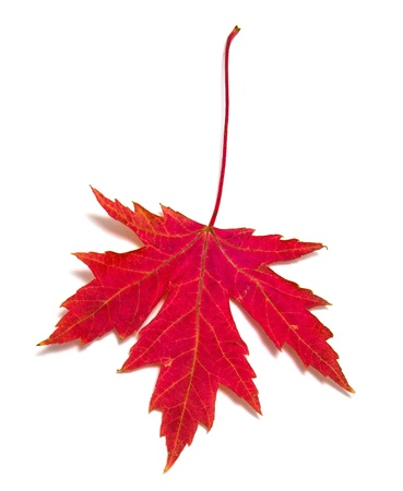 acer: Red Maple Leaf  Acer saccharum  isolated on white