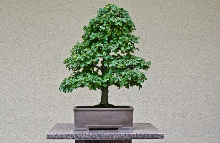 Superb Japanese Hackberry Bonzai isolated on a uniform beige wall photo