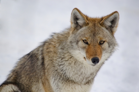 Coyote looking at the viewer, on snowy background