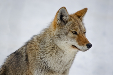 canis: Coyote looking in the distance, on snowy background Stock Photo
