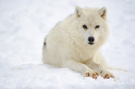 canis: Old blue-eyed arctic wolf resting on snow Stock Photo