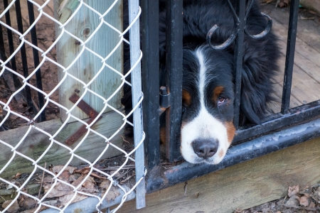 Closeup of a sad looking dog poking his head through the fence photo