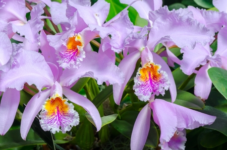 Group of beautifull orchid flowers (Cattleya Trianae)