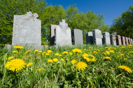 Aligned headstones in a cemetary with dandelions in the foreground Stock Photo