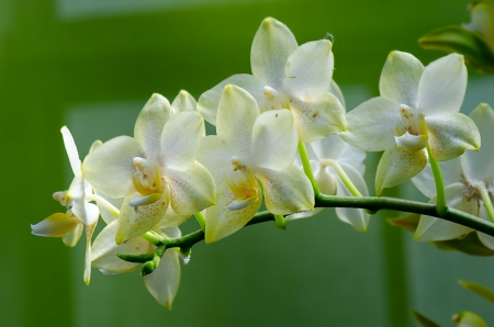 Branch of beautifull orchid flowers  photo