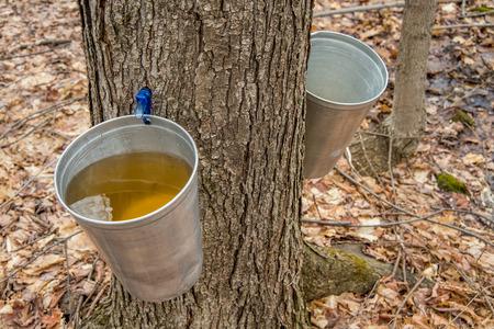 バケツは、ケベック州のメープル シロップを生産するカエデの木の樹液を収集するために使用します。 写真素材