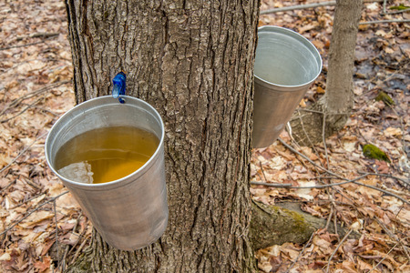 in syrup: Pail utiliza para recoger la savia de los �rboles de arce para producir jarabe de arce en Quebec.