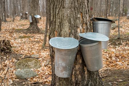 cobrar: varios cubos utilizados para recoger la savia de los �rboles de arce para producir jarabe de arce en Quebec.