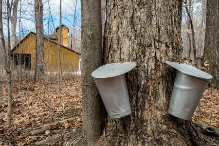 recoger: Pail utiliza para recoger la savia de los árboles de arce para producir jarabe de arce en Quebec.