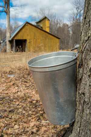 Pail used to collect sap of maple trees to produce maple syrup in Quebec, with a sugar shack in the background