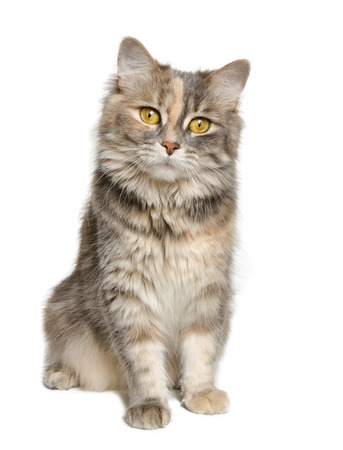 calico cat: Adorable calico cat looking at the camera