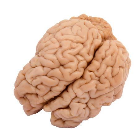 cerebra: Veal brain isolated on white background