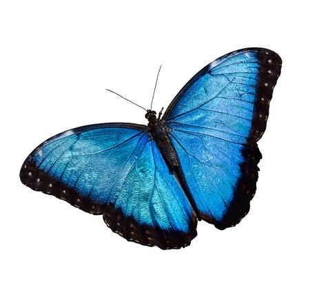 ブルーモルフォ蝶白背景に分離