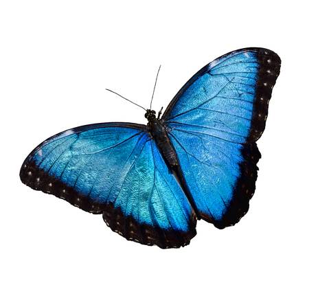 Blue Morpho butterfly isolated over white background