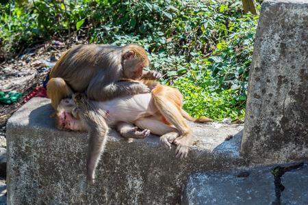 piojos: Un mono Rhesus recoge los piojos de otro mono Foto de archivo