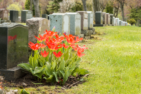 Headstones in a cemetary with many red tulips Stockfoto