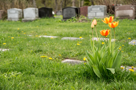 gravesite: Headstones in a cemetary with Red and Yellow Bicolor Tulips