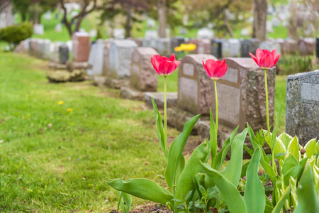 gravesite: Headstones in a cemetary with three red tulips