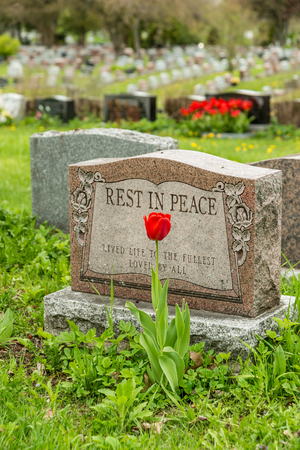 gravesite: Headstone in a cemetery with one red tulip and rest in peace inscription.