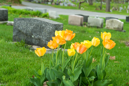 headstones: Headstones in a cemetery with yellow and orange tulips