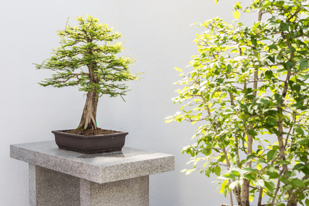 cypress: Bald Cypress Bonsai (Taxodium distichum)