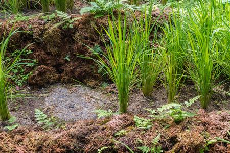 Los cultivos de arroz salvaje (Oryza sativa) Foto de archivo - 61242767