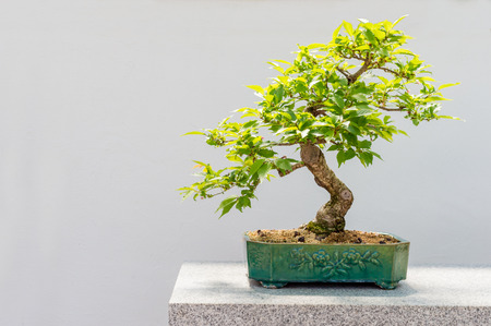 20 yo Kurile cherry tree bonsai (Prunus nipponica v kurilensis) Stock Photo