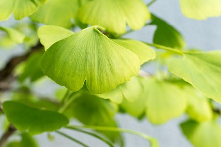 Close-up of Ginkgo Biloba leaves