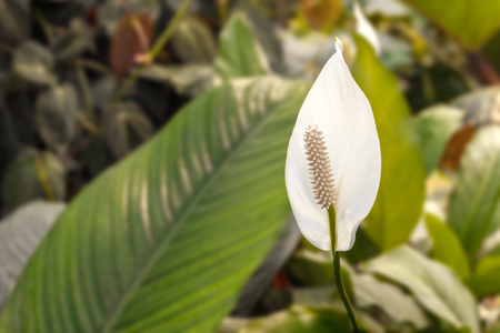 peace lily: Peace lily white flower (Spathiphyllum) Stock Photo
