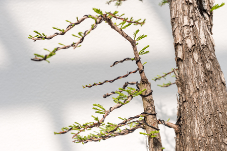 Close up of Bonsai wiring to shape the branches Reklamní fotografie
