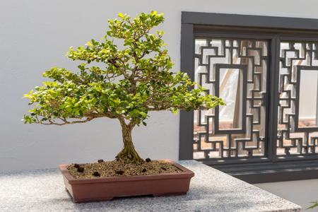 40 yo Chinese Boxwood Bonsai (Buxus sinica) Stock Photo
