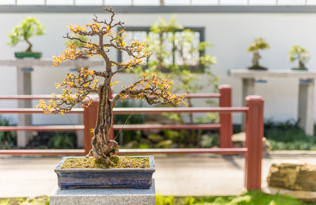 punica granatum: 75 yo Pomegranate bonsai (Punica granatum nana)