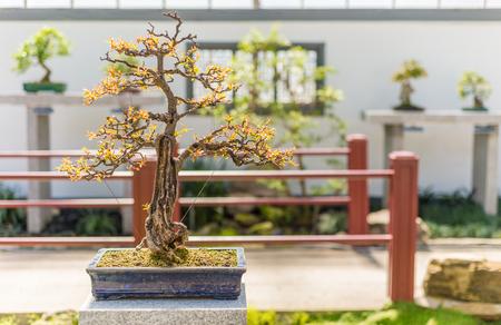 punica granatum: 75 yo Pomegranate bonsai (Punica granatum nana)