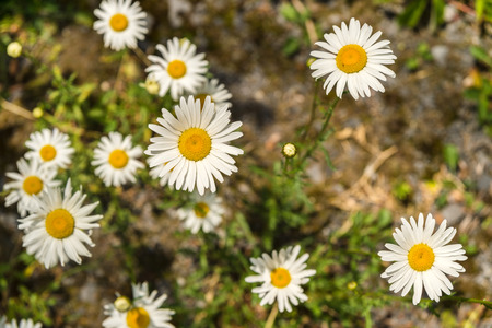 Bblooming oxeye daisy flowers