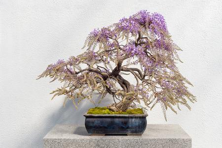 ピンクの花 (藤フロリバンダ) で咲く日本藤盆栽