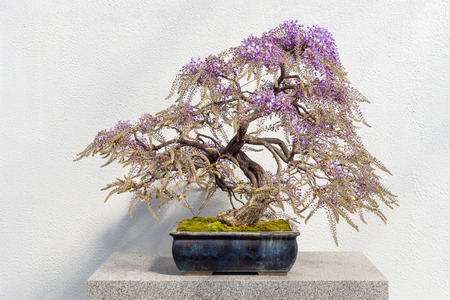 Blooming Japanese Wisteria Bonsai with pink flowers (Wisteria floribunda) Stock Photo