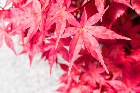 Japanese Maple leaves over white background