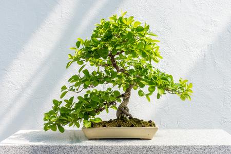 40 years old: Euonymus fortunei Bonsai (Wintercreeper euonymus) - 40 years old tree.