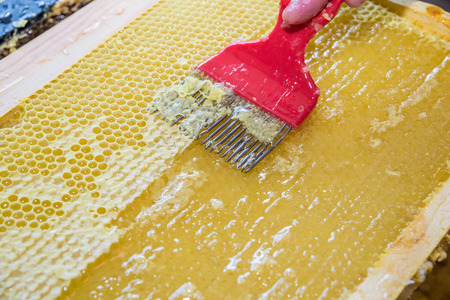 to scrape: A beekeeper uses an unccaping fork to scrape along the honeycomb and remove  wax caps before extracting honey in the centrifuge. Stock Photo
