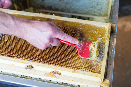 extracting: A beekeeper uses an unccaping fork to scrape along the honeycomb and remove  wax caps before extracting honey in the centrifuge. Stock Photo
